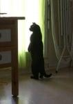 Черна котка гледа през прозореца