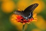 Черна пеперуда