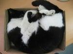 Черно-бяла котка в кутия