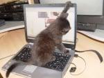 Черно коте на лаптоп