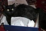 Черно коте в кутия