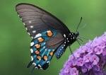 Черно-синя пеперуда