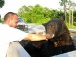 Човек със спасената мечка