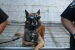 Полицейско куче с очила