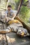 Да погалиш тигър