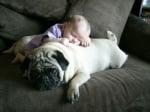Дебел мопс с бебе