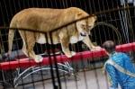 Руски цирк е критикуван заради лъвове с наднормено тегло