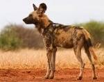 Дете загина в САЩ, нахапано от африкански диви кучета