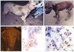 Диагностициране на Лайшманиоза при кучето
