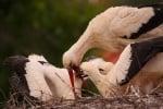 Гнездо на бели щъркели