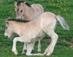 Проект за развъждане на диви коне в Родопите започва да дава резултати