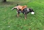Домашно куче с дива лисица