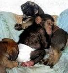 Доведено бебе шимпанзе с братята си кученца