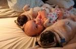 Два мопса с бебе