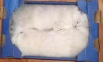 Две бели котета в кутия