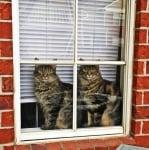 Две котки гледат през прозореца
