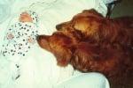 Две кучета голдън ретривър с бебе