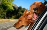 Две кучета в кола