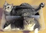 Две сиви котки в кутия