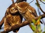 Две сови си разменят нежност