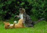 Двубой между котки