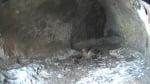 Инсталираха първата в света камера за онлайн наблюдение на редкият египетски лешояд