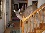Еленчето Дили слиза по стълбите