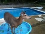 Еленчето Дили слиза в басейна