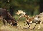 Елени се бият