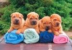 Фестивал на набръчканите кучета прави голямо дарение на приют за животни