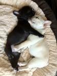 Френски булдогчета, които се прегръщат