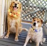 Гердани от цветя за кучета