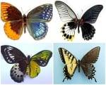 Гинандроморфизъм при пеперуди