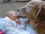 Голдън ретривър куче с бебе
