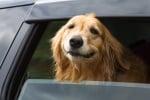 Голдън ретривър в кола