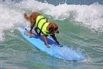 Голдън ретривър кара сърф