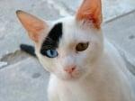 Голяма бяла котка с черно и различни очи