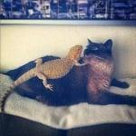 Голяма котка с гущер