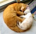 Голяма котка с коте