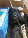 Голямо черно куче с оток след ужилване на пчела или оса
