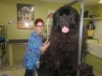 Голямо куче на ветеринар