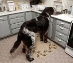 Голямо куче в кухня