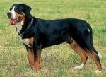 Голямо швейцарско пастирско куче