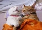 Гушнати котки спят заедно