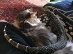 Гущер с котка