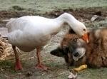 Гъска и немска овчарка си играят заедно