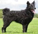 Хърватска овчарка