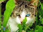 Хетерохромия при котките