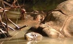Хипопотам и костенурка плуват заедно