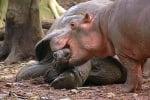 Хипопотамче и костенурка най-добри приятели